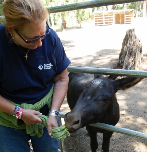 """Mr. Donkey, just because my sweater is green like an apple does not mean you can eat it! Let me have my sleeve back, and I'll give you a carrot!,"" I said to this sweet long-eared fellow. He's gone a tad ""sour"" from all the handouts he gets from vacationing kids – and yes, adults, too.  Now corralled, this donkey and his partner used to roam the resort at will. Since the warped doors on the old vacation cabins don't always close tightly, these clever donkeys would use their long noses to wedge the doors open, tip-toe up the rather rickety stairs, go inside and binge on human sweets and treats. Photo by Adam Sherman."