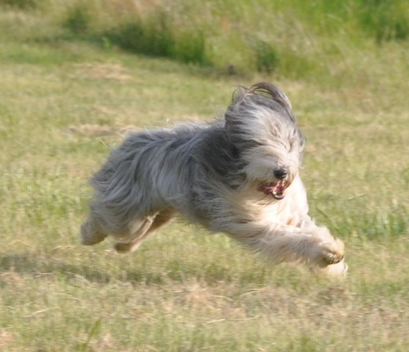 Bearded Collie | AnimalsOurEVERYTHING! Bearded Collie Coat